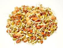 Lentilles de germination Photographie stock libre de droits