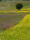 Lentils fields Royalty Free Stock Photo