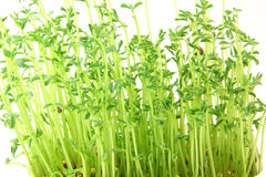 Lentils plants texture Royalty Free Stock Image