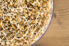 Lentils in Sprouting Tray Royalty Free Stock Photos
