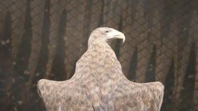 LENTO: mar-Eagle Blanco-atado toma el sol debajo de un sol (la visión trasera) almacen de video