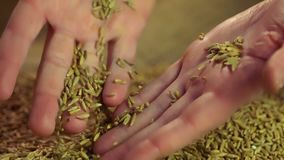 Lento-MES de las manos masculinas que tocan el grano del centeno, disfrutando de la buena cosecha después de trabajo duro almacen de video