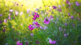 Lento-movimento da flor do cosmos com gota da água filme