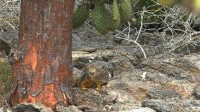 Lento zummi il colpo dell'iguana della terra ed il tronco di un albero del cactus video d archivio