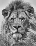Leo Στοκ εικόνα με δικαίωμα ελεύθερης χρήσης