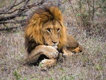 Leão Foto de Stock