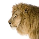 Leo 8 lwa lat panthera Obraz Royalty Free