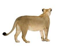 Leo 8 panthera lwicy lat Zdjęcia Stock