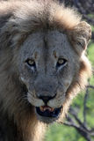 Leo the African. Old male looking into the camera Stock Images
