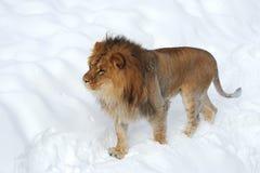 Leo africano imagenes de archivo