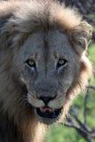 Leo afrykanin Stary męski patrzeć w kamerę Obrazy Stock