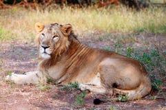 Leão asiático no parque nacional da floresta de Gir Fotografia de Stock