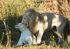 Leão branco Foto de Stock Royalty Free