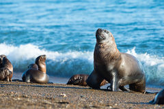 Leão de mar na praia no Patagonia Fotos de Stock