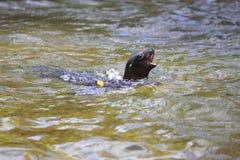 Leão de mar novo de Califórnia Imagem de Stock Royalty Free