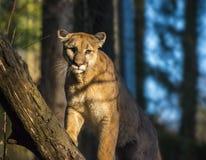 Leão de montanha Fotos de Stock