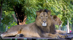 Leão e leoa asiáticos Fotografia de Stock
