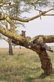 Leão em uma árvore Fotos de Stock Royalty Free