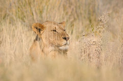 Leão escondendo Imagem de Stock Royalty Free