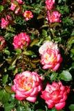 Leo Ferre róż plenerowy światło słoneczne Obraz Stock