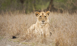 Leão fêmea no parque nacional de Kruger, África do Sul Fotografia de Stock Royalty Free