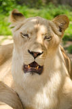 Leão fêmea que descansa na grama Imagem de Stock Royalty Free