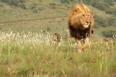 Leão, África do Sul Imagem de Stock Royalty Free