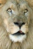 Leão grande dos olhos Imagens de Stock