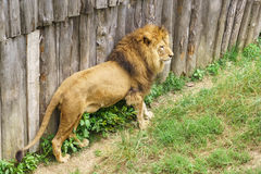Leo lat. Panthera leo is a carnivorous mammal of the genus Panther of the subfamily of large cats the cat family Felidae Stock Images