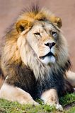 Leo the Lion King. The king of the jungle in all his glory stock photo