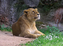 Leo the lioness is the predator. Predatory cat lioness from Africa the mammal king of beasts Stock Images