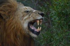 leo lionpanthera arkivfoto