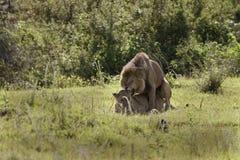 leo lionspanthera Arkivbilder