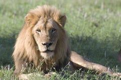 leo lwa panthera Zdjęcie Royalty Free