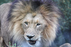 leo lwa panthera Obrazy Royalty Free