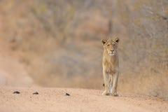 leo lwa panthera Fotografia Royalty Free