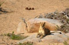 leo lwicy panthera Obraz Stock