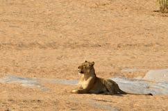 leo lwicy panthera Zdjęcie Royalty Free