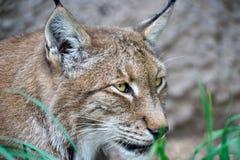 Leo Lynx con uno sguardo micidiale Fotografie Stock Libere da Diritti