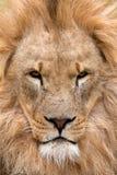Leão majestoso (Panthera leo) Imagem de Stock