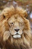 Leão masculino Foto de Stock