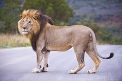 Leão masculino principal Imagens de Stock Royalty Free