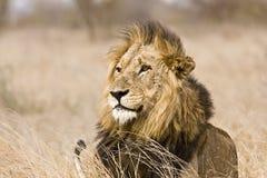 Leão masculino selvagem, parque nacional de Kruger, África do Sul Imagens de Stock Royalty Free