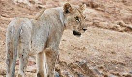 Leão misterioso Fotos de Stock Royalty Free
