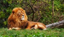 Leão na grama verde Fotos de Stock