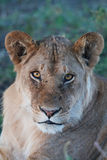 Leão novo Foto de Stock