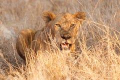 Leão novo Imagem de Stock Royalty Free