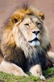 Leo o rei do leão foto de stock