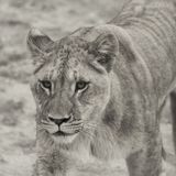 Leo Panthera λιονταριών Στοκ εικόνες με δικαίωμα ελεύθερης χρήσης