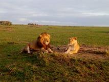 Leo Panthera λιονταριών Simba, χρόνος φεγγαριών μελιού ή χρόνος ζευγαρώματος στοκ εικόνα